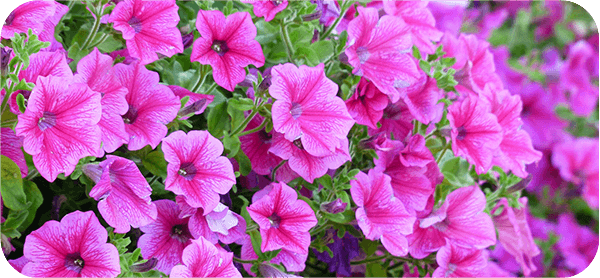 Rasadnik cveća Priboj